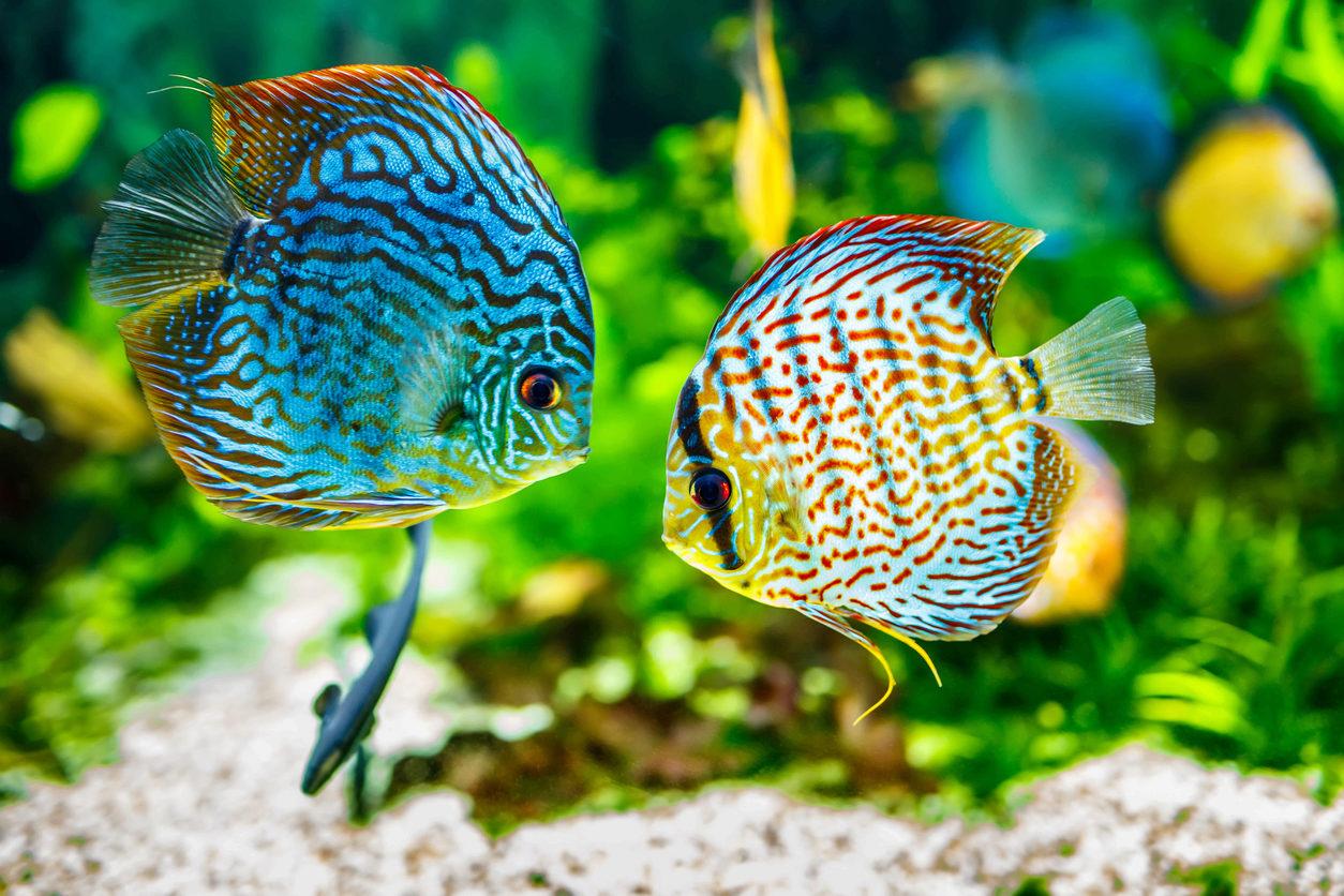 Top 10 de espécies de peixes por tipo de aquário